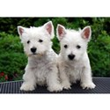 west highland white terrier puppy group T-Shirt